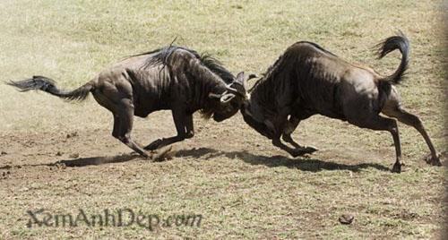 Animal fighting - wild fight