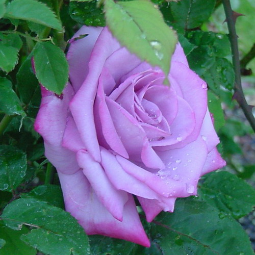 Awesome rose photos