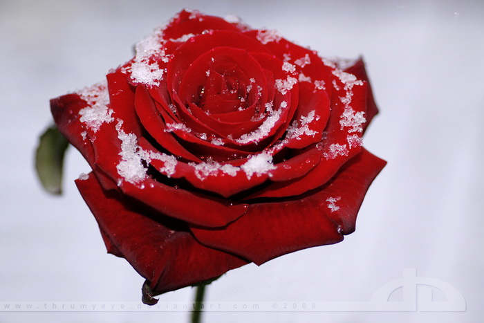 Beautiful rose photos