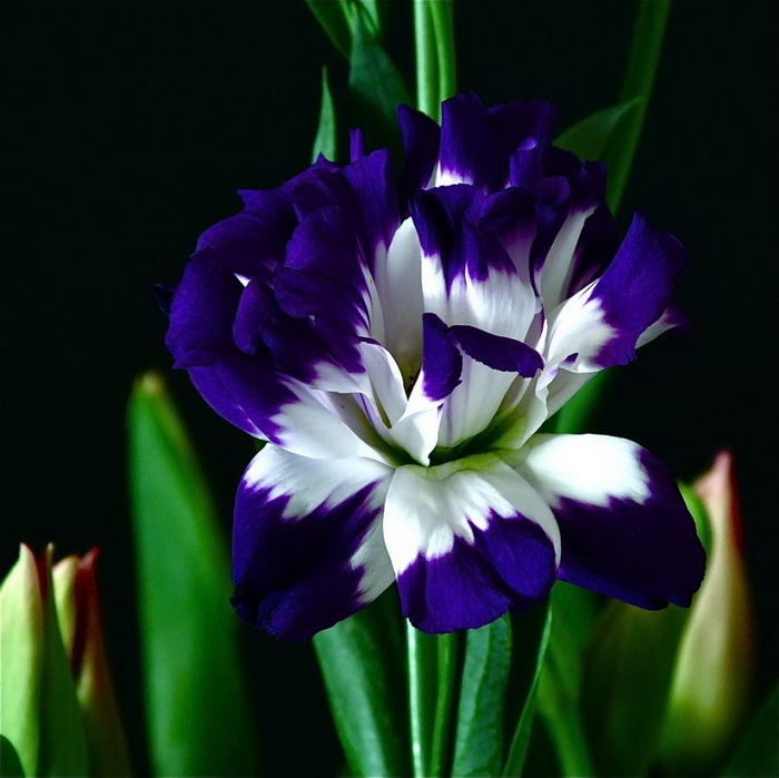 Advanced Search blue violet flower