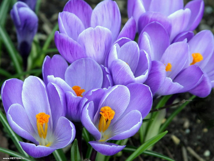 blue-violet-flower pictures