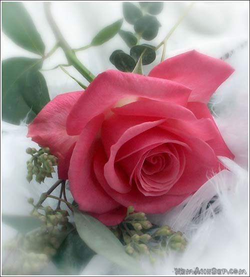 http://xemanhdep.com/gallery/flower/images/big/rose-hoahong02.jpg