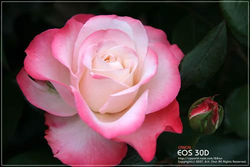 Ảnh hoa hồng - Beautiful Rose 09