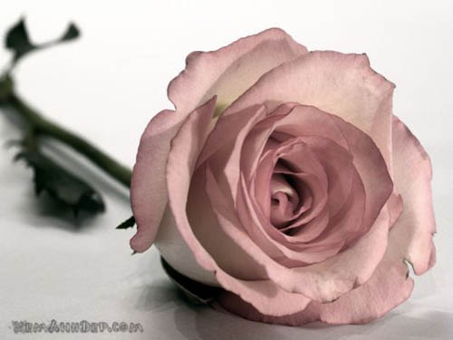 http://xemanhdep.com/gallery/flower/images/big/rose-hoahong11.jpg