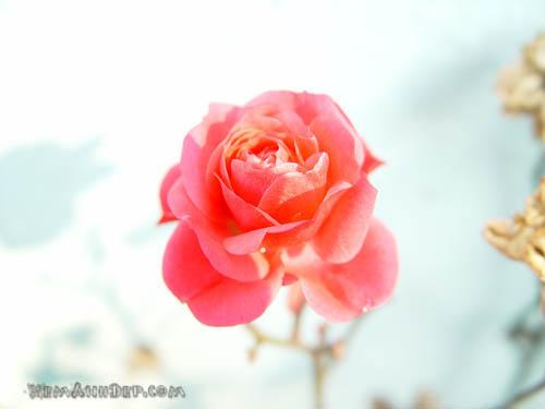 Ảnh hoa hồng - Beautiful Rose 13