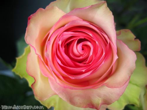 Ảnh hoa hồng - Beautiful Rose 14