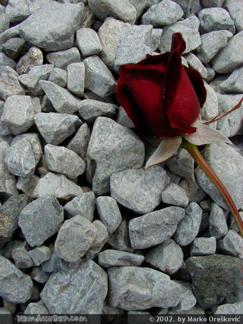 Ảnh hoa hồng - Beautiful Rose 15