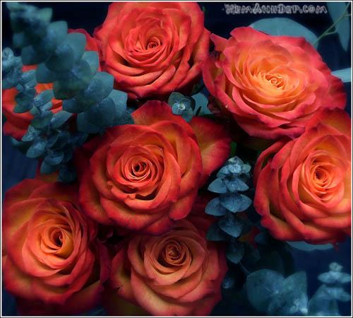 Ảnh hoa hồng - Beautiful Rose 17