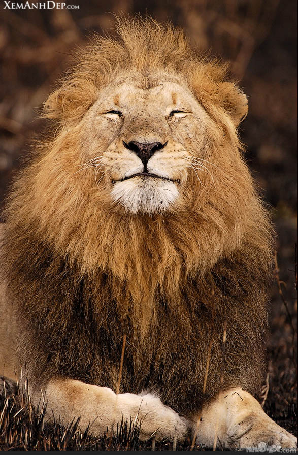King of the forest: lion, tiger, cheetah photo stock