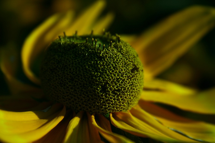 Sunflower photos