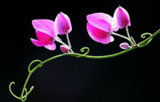 Ảnh Đẹp Hoa Tigon-Beautiful Tigon Photos