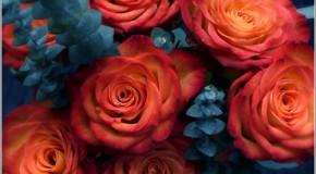 anh hoa hong Ảnh hoa hồng đẹp – Anh hoa hong