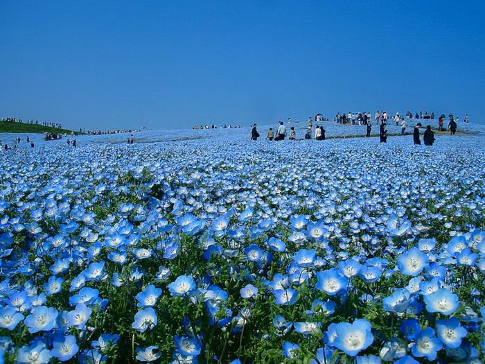 Ảnh đẹp cánh đồng hoa