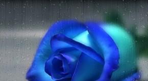 anh hoa hong Ảnh Đẹp Hoa Hồng Tuyệt đẹp
