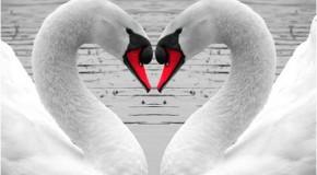 Anh dong vat Tình yêu của loài chim