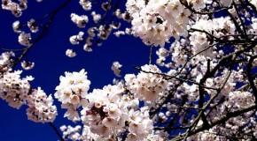 anh hoa dep Ảnh Đẹp Hoa Anh Đào