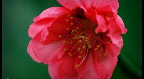 Anh hoa dep Ảnh đẹp hoa đào ngày Tết