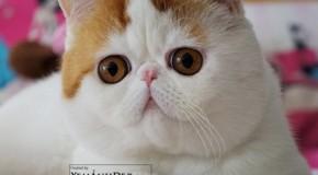 Anh dong vat Ảnh mèo béo Snoopy cat siêu cute