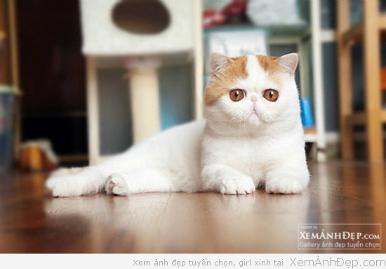 Ảnh mèo béo Snoopy dễ thương
