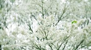 Anh hoa dep Ảnh hoa sưa nở trắng tinh khôi
