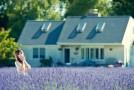Ảnh hoa oải hương Lavender tuyệt đẹp