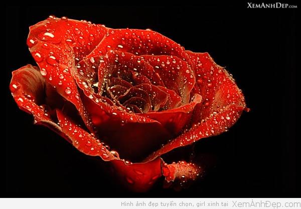 Ảnh hoa hồng tuyệt đẹp