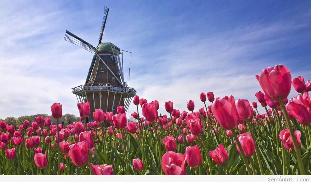 Anh dep hoa tulip ha lan